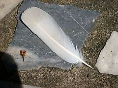tail_feather